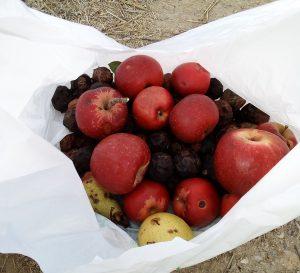 cueillette noix pommes poires