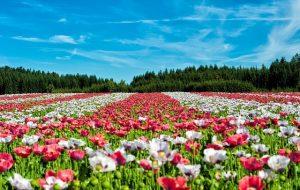 simplicite champ de fleurs